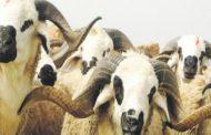 Aïd al-Adha: Lancement de l'opération de l'identification des ovins et des caprins