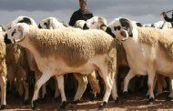 Aid Al Adha 2019 : 6 millions de têtes identifiées et 30 souks supplémentaires dédiés à la vente des ovins et caprins