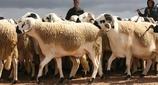 Aïd al-Adha: l'ONSSA annonce l'identification de 5,8 millions de têtes d'ovins et caprins