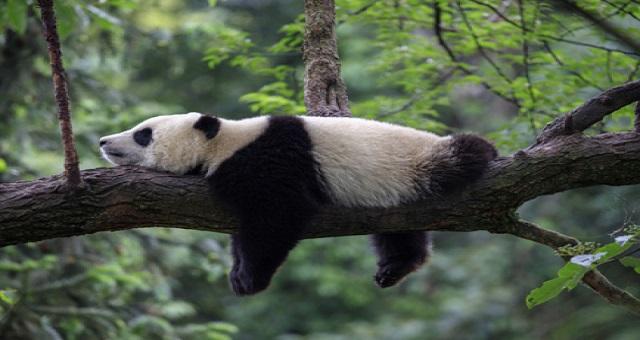 Le nombre de pandas géants en captivité s'élève à 600 dans le monde