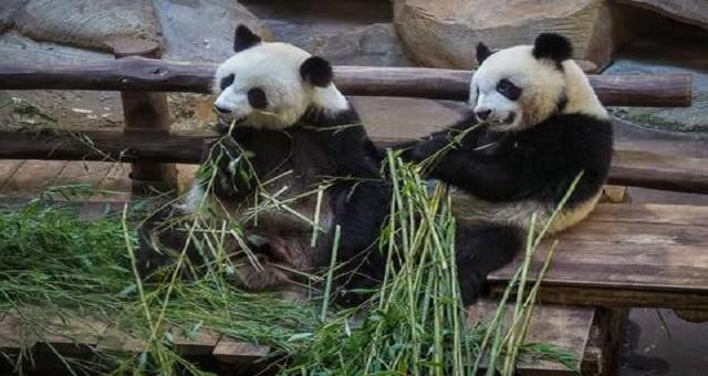 Insolite: Les pandas de Beauval, un des enjeux de la visite de Macron en Chine