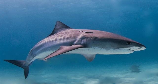 Réunion: Des restes humains retrouvés dans l'estomac d'un requin-tigre
