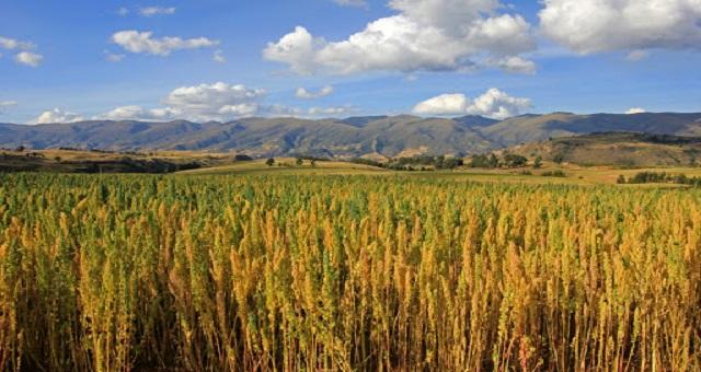 Youssoufia et Rehamna: L'OCP soutient la culture du quinoa