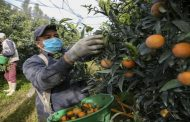 Les saisonniers marocains sauvent la récolte des clémentines en Corse