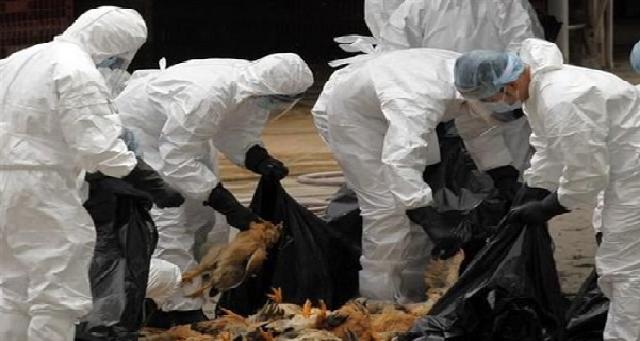 Grippe aviaire : La Mauritanie interdit l'importation de volailles d'Algérie